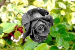 a_grey_rose_for_a_rainy_day_by_thehappiestdeidaraun-d33dgh6_8714.jpg